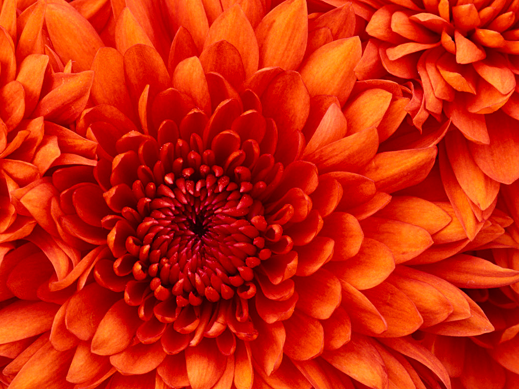 Chrysanthemum78